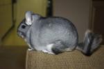 cate - Chinchilla (7 Jahre)