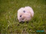 Hamster - Feldhamster