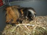 Lassie - Peruaner-Meerschweinchen (1 Jahr)