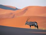 Wüste - Gazelle