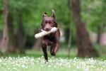 Un Labrador noir court en tenant un jouet dans sa gueule
