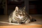 Un gros chat Européen allongé sur le sol