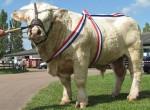 Taureau champion - Männlich Kuh (2 Jahre)