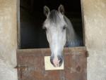 Grisou - Männlich Pferd (4 Jahre)