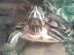 Ma tortue x) - Schildkröte (1 Jahr)