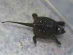 Bob - Schildkröte
