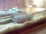 J'ai faim!!=) - Männlich Schildkröte (1 Jahr)