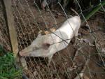 Canny - Schwein (4 Jahre)