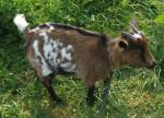 opuim - Ziege (1 Jahr)